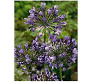 Robertas 4 Piece Blue Egyptian Agapanthus Lily - H174880