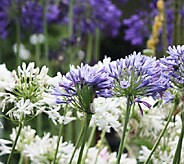Robertas 4-Piece Assorted Agapanthus Collection - H285880