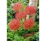 Robertas 6-Piece African Paintbrush Starfire Lily - H287881