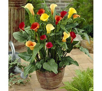 Roberta's 9-Piece Rainbow California Calla Collection - H287885