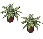 Silver Queen Set of 2 Plants by Nearly Natural - H357386