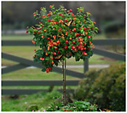 Cottage Farms Dallas Red Lantana Patio Tree - H290894