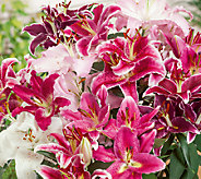 Robertas 16-Piece Fragrant Oriental Lily Mix - H285696
