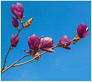 Cottage Farms Black Tulip Magnolia Tree - H290896