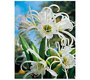 Robertas 4 Piece Fragrant Peruvian Spider Lily - H174898