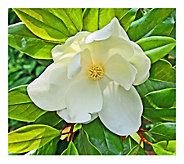 Cottage Farms Moonglow Magnolia Tree - H290898