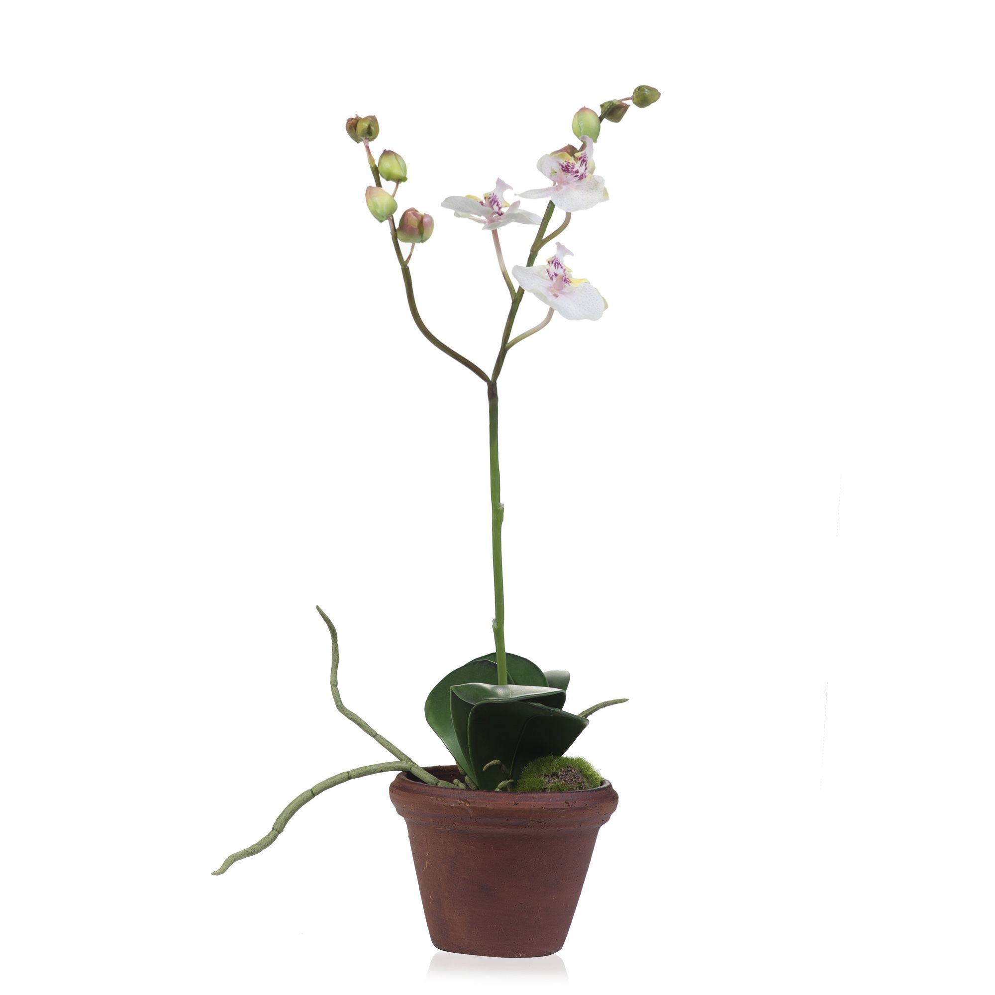 Orchidea phalaenopsis in vaso di terracotta qvc italia for Vaso orchidea