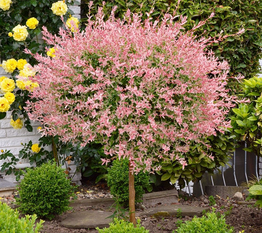 Cottage Farms Pink Princess Willow Tree