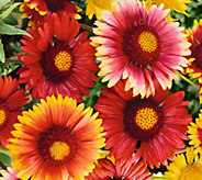Robertas 3-piece Colorful and Sassy Blanket Flowers - M53000