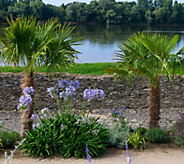 Robertas Hardy Windmill Palm Tree with Fertilizer - M57200