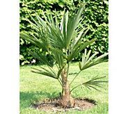 Robertas 1-pc Hardy Chinese Windmill Palm Tree with Fertilizer - M49101