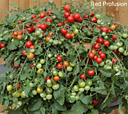 Robertas 6-piece Vegetalis Tasty Trailing Patio Tomatoes - M49102
