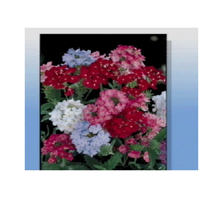 Spring Hill 12 Piece Verbena Collection