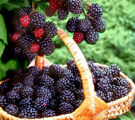 Cottage Farms Bountiful Harvests Freedom Blackberry Duo