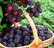 Cottage Farms Bountiful Harvests Freedom Blackberry Duo - M46306