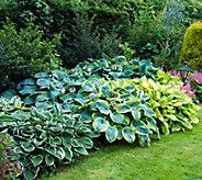 Robertas 12-piece Luscious Large Leafed Hosta - M49106