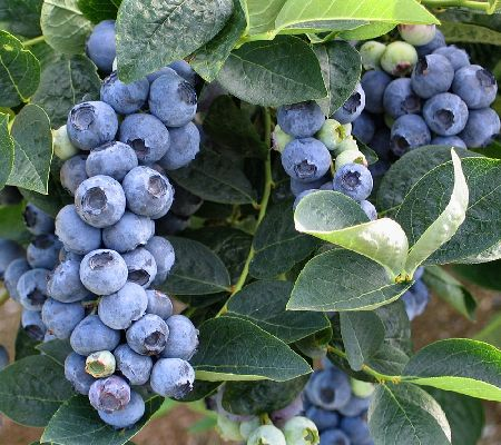 Cottage Farms Bountiful Harvests Chandler Blueberry Duo