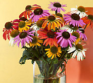 Robertas 6-pc. Color Full Cheyenne Spirit Echinacea - M46408
