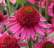 Cottage Farms 2-piece Delicious Candy Coneflowers - M57009