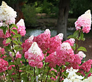 Cottage Farms Vanilla Strawberry Hydrangea - M46310