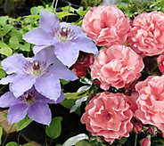 Cottage Farms Fragrant Summer Rose Clematis Duo - M57010