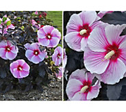 Cottage Farms 2-Pc Starry Starry Night Giant Hibiscus Duo - M58910