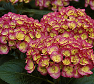 Cottage Farms 3-pc Candy Kisses Hydrangea - M53211
