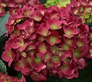 Cottage Farms 2-pc Raspberry Sparkles Hydrangea - M53212