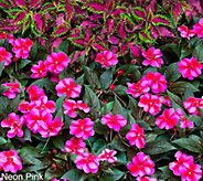 Robertas 6-pc Compact and Colorful SunPatiens Auto-Delivery - M53912
