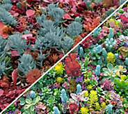 Cottage Farms 2-Piece Red Hot Rio Sedum Tile - M54612