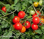 Robertas 6-piece Vegetalis Sweet Trailing Patio Tomatoes - M57212