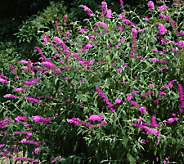 Cottage Farms 3-pc Tutti Fruitti Butterfly Bush - M114213