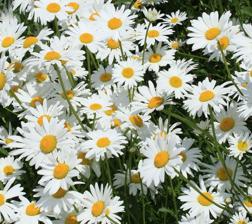 Cottage Farms 4-piece Everblooming Shasta Daisy Collection