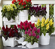 Robertas 6-piece Flaming Celosia Collection - M49113