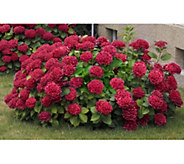 Cottage Farms 3-pc Cherries Jubilee Hydrangea - M53213