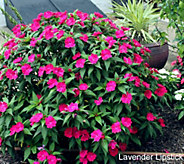 Cottage Farms Color Jubilee SunPatiens Collection Auto-Delivery - M50514