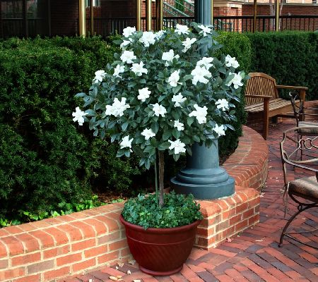 Cottage Farms Double Blooming Gardenia Patio Tree