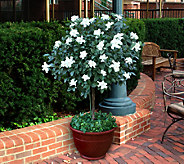 Cottage Farms Double Blooming Gardenia Patio Tree - M26815