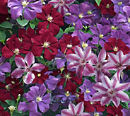 Cottage Farms Color Explosion Clematis Plant Trio - M53215