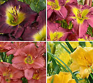 Cottage Farms 4-Pc Cream of the Crop Reblooming Daylilies - M58815