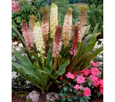 Roberta's 3 pc. Sparkling New Zealand Pineapple Lilies