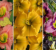 Cottage Farms 3-Piece Elegant Encore Daylily Collection - M58816