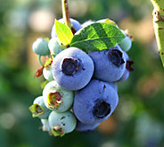 Cottage Farms Chandler Blueberry - M116918