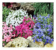 Cottage Farms 12 pc Carpet Phlox Ground Cover Collection - M101219