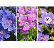 Cottage Farms 6-Piece Shade Loving Hardy Geranium Set - M58819