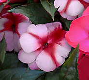 Cottage Farms 6-Piece Perfectly Pink SunPatiens Auto-Delivery - M58919