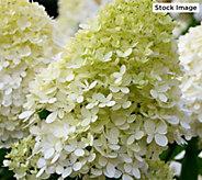 Cottage Farms Phantom Giant Blooming Hydrangea - M58820