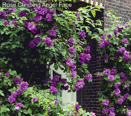 Cottage Farms 3 Piece Unique Climbing Rose Garden Qvc Com