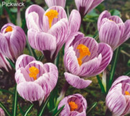 Roberta's 45 Piece Color Filling Crocus Collection