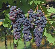 Cottage Farms Pixie Grape Patio Plant - M53222